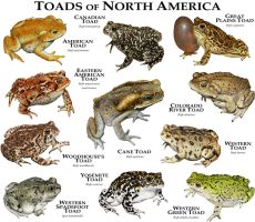 Toads  of North America by rogerdhall