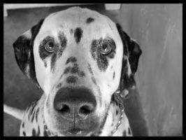 Spotty: Dalmatian by dogs