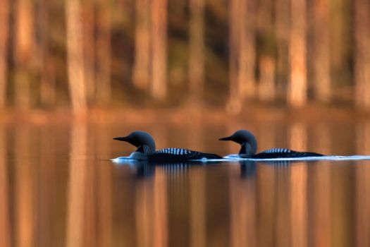 Loons 1 by Starfall00
