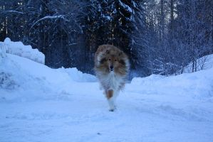 Collie by roughcollie
