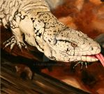 Argentine Black and White Tegu by Talkris