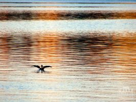 Cormorant sunset. by Littography