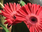 Gerbera Daisy by crazygardener