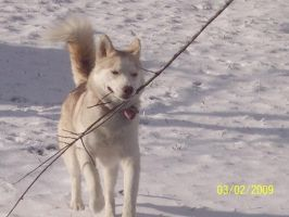 Old picture of my dog Tundra c: by Radioactive-Demon