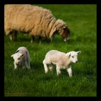 Easter Lambs at play by GMCPhotographics