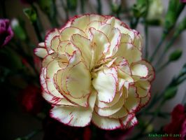 Yellow and Pink Carnation by Xiuhcoalt