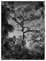 Corkscrew Swamp Pine 12 by tmfNeurodancer