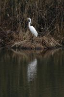 Great White Egret by organicvision