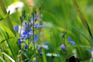 blue flowers in grass by lucyparryphotography