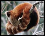Red Panda by forgivnforlife