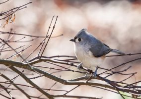 Tufted Titmouse by rctfan2