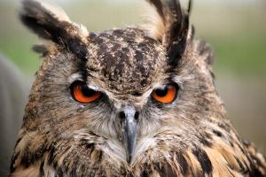 Eagle-Owl by DSPHolthaus