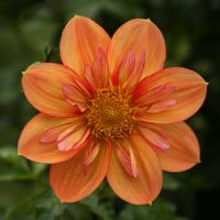 square orange dahlia flower by Nexu4