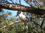 My first Kookaburra by Buble