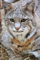 Bobcat Portrait by AnxietyPatient