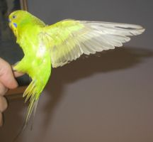 Budgie in flight 13 by greencheek