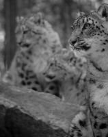 bw snow leopards by loveandtears