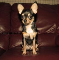 couch chihuahua by mkanahashi
