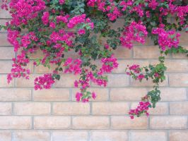 bouginvillia wall stock 1 by haunted-shadows17
