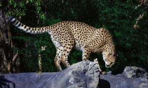 cheetah625 by redbeard31