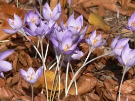 Crocus by dmguthery