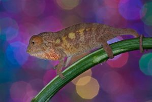 The disco chameleon by AngiWallace