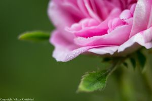 Rose by homerlein