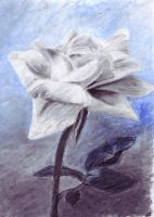 White rose oil pastel by Wendy0
