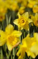 Daffodils by thechevaliere