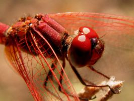 red dragonfly closeup by kumarvijay1708