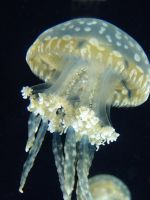 Sea Jelly 2 by jezebel144