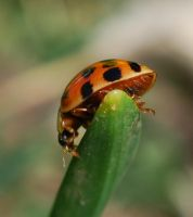 lady bug by GrnDrgn