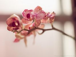 Victorian Orchid by KBeezie