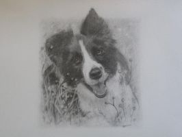 Border Collie by Frisar