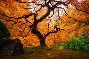 Maple tree by porbital