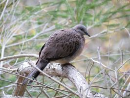 spotted dove by kiwipics
