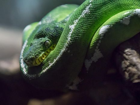 Emerald Tree Boa - III by InayatShah