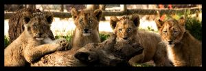 Staring Cubs by TonallyTormented