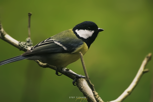 Great tit by cs4pro