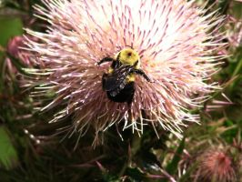 Big Pollen Jumper on Thistle by Sharondipity