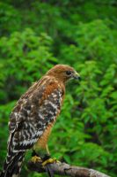 CatherineCross Red-Shouldered Hawk Stock by CatherineCross