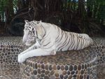 A white tiger by FlagalWagal