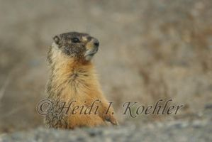 Marmot Awakes by 12monthsOFwinter