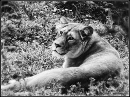 Barbary lion by BELFASTBAP