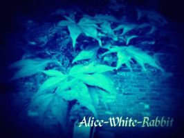 For Alice-White-Rabbit by sinisterinsomniac