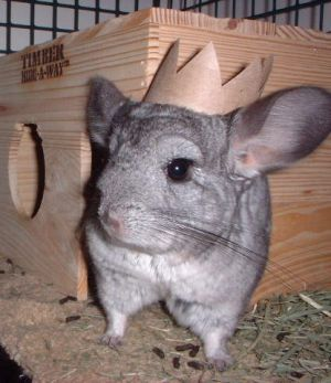 The King of Chinchilla Town by chinchilla-madness