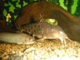 Eel tailed catfish and friend :3 by Goose900