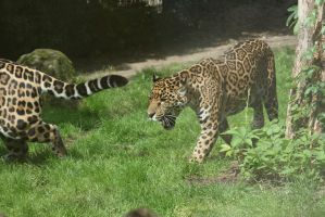 jaguar in Zoo by ingeline-art