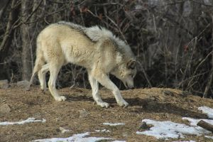 Wolf Stock Ecomuseum 73 by wolf-alchemy