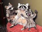 Raccoon Taxidermy family photo with hyper child by Meddling-With-Nature